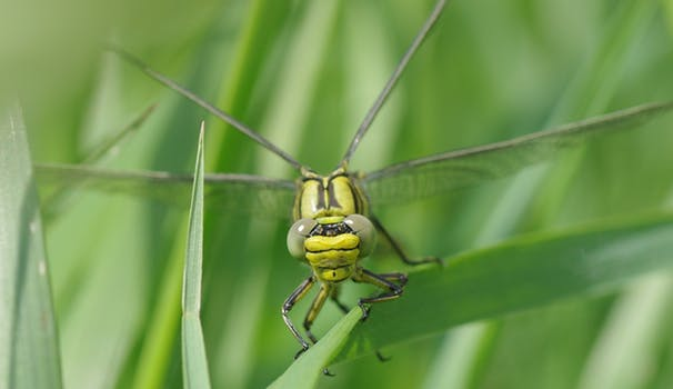 insect-dragonfly-vulgatissimus-yellow-dragonfly-80466