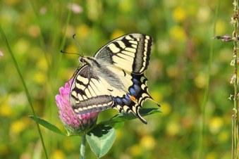 swallowtail-butterfly-364329__340