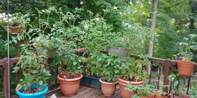 2018 tomatoes.jpg