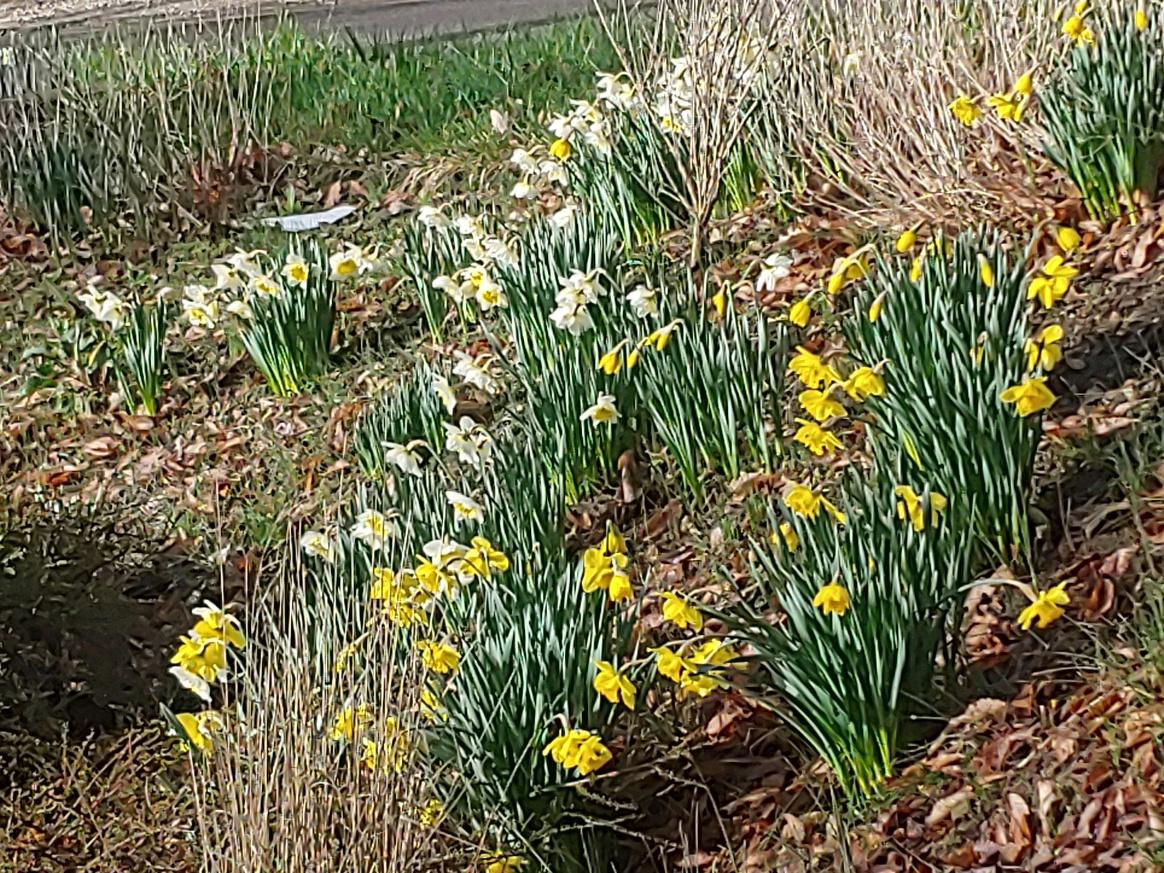 2020 daffodils 1