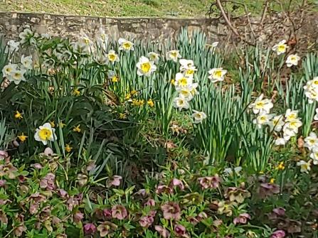 2020 daffodils2