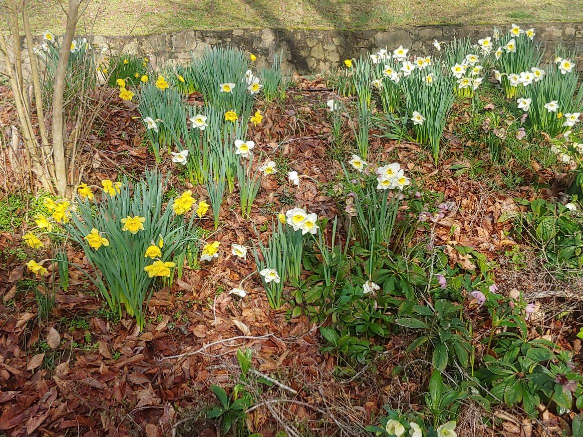 2020 daffodils3